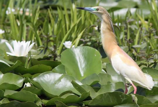squacco heron (Judith Wells)