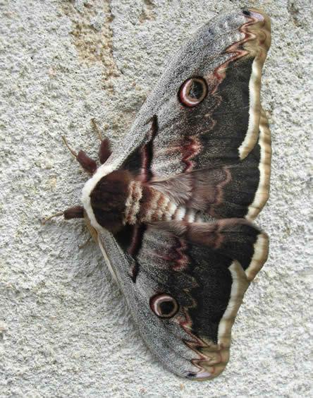 giant peacock moth